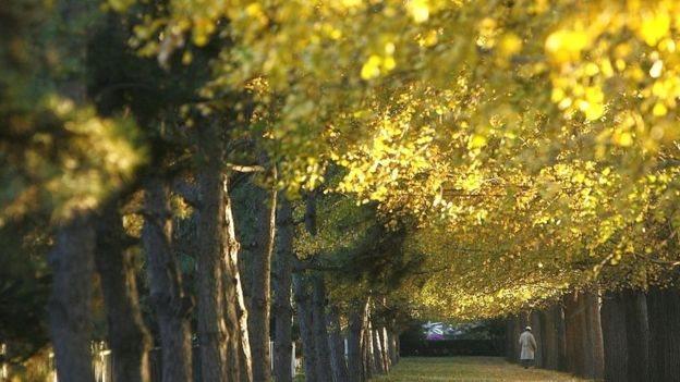北京的銀杏樹
