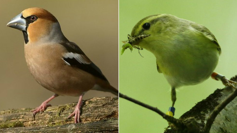 Hawfinch (left) and wood warbler (right)