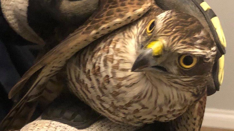 Rescued sparrowhawk