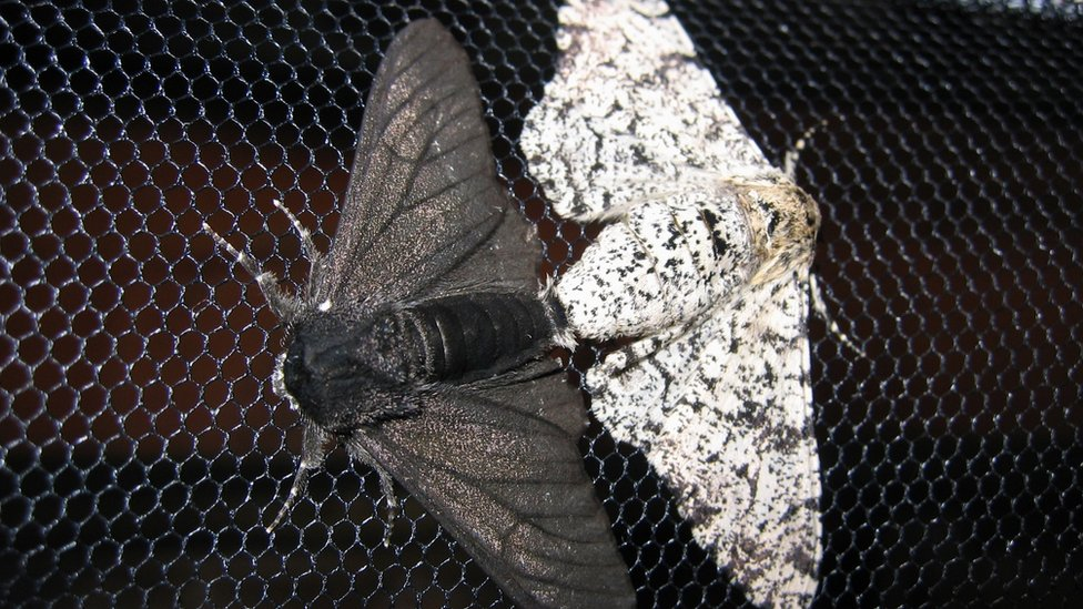 pale and dark peppered moths