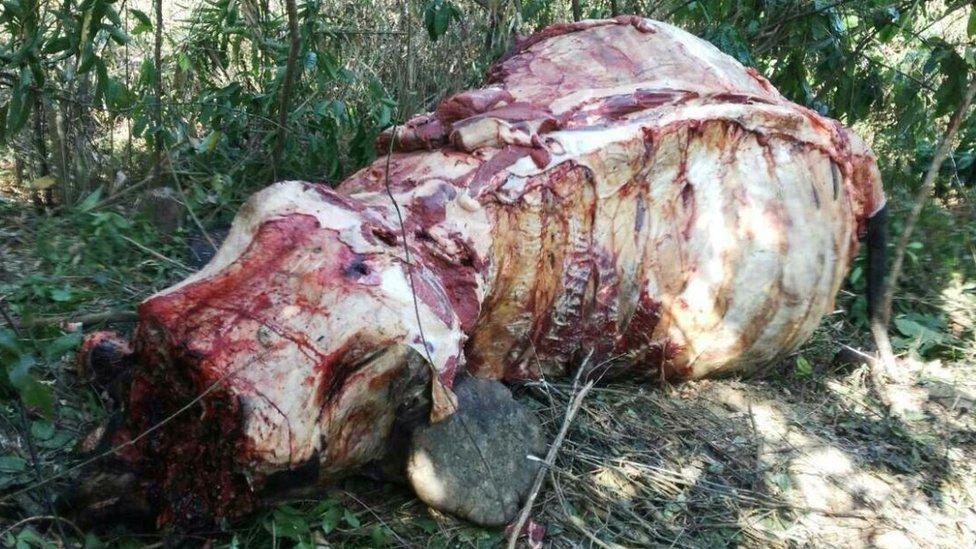 A fully skinned elephant in Myanmar