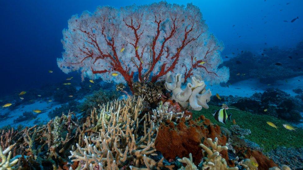 Corales en Filipinas.