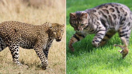 Leopard and Bengal cat