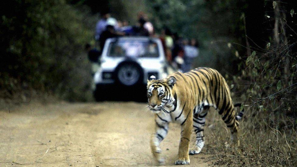 Tigras prelazi ulicu