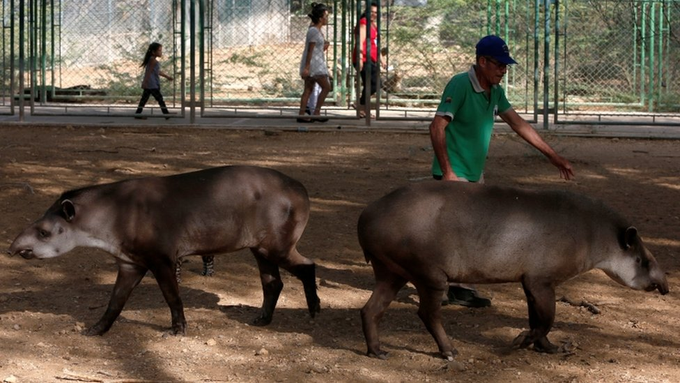 An employee walks with tapirs at the Paraguana zoo in Punto Fijo, Venezuela July 22, 2016.