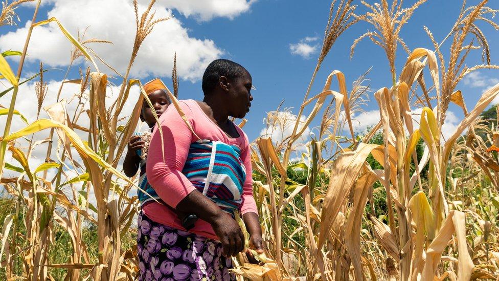 kurumuş bir mısır tarlasında çocuğunu taşıyan kadın.
