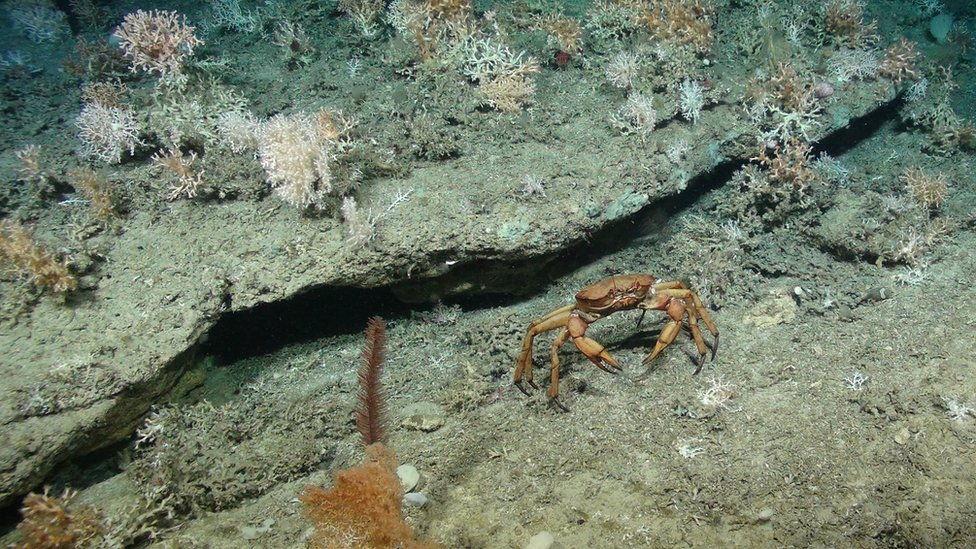 Deep sea crab with cold-water coral colonies in the background