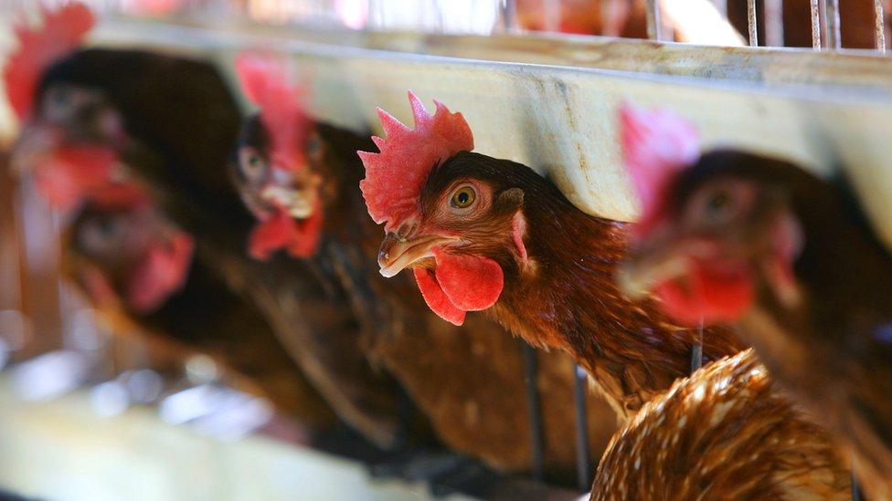 دجاج في اقفاص
