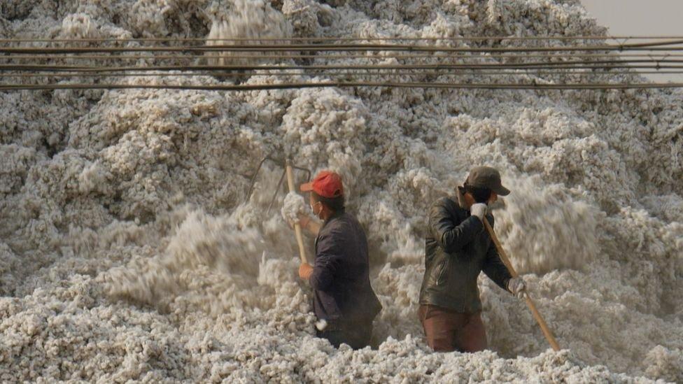 محصول القطن في شينجيانغ يمثل خمس إنتاج العالم