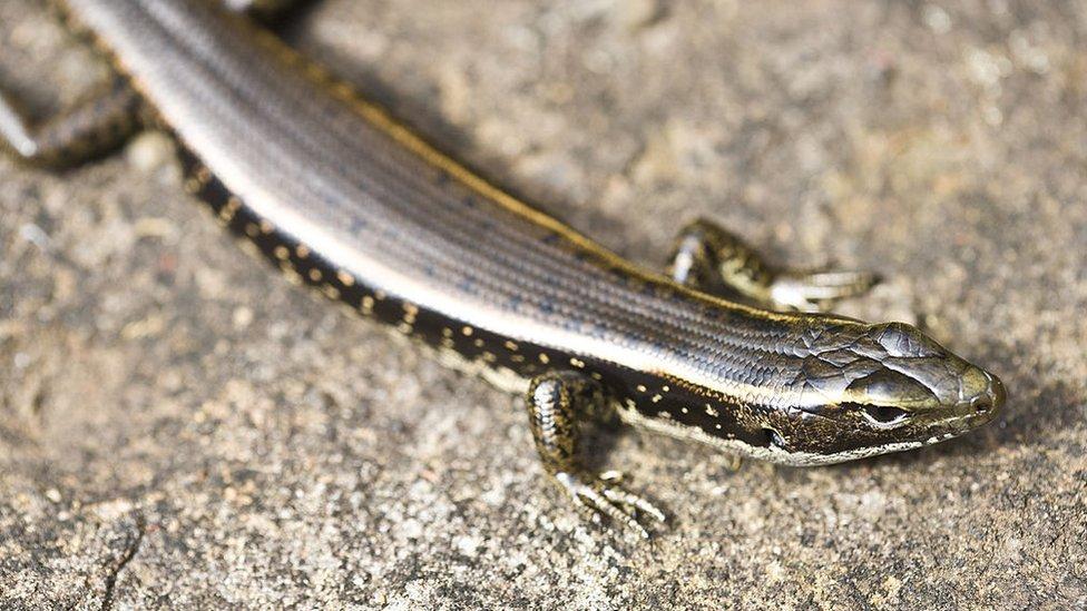Una lagartija.