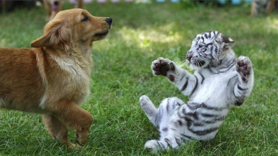 النمر المنشوري الأبيض الفريد من نوعه أثناء لعبه مع كلب