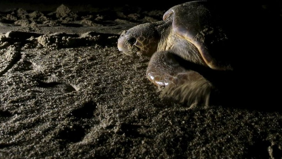 A loggerhead sea turtle (Caretta caretta) crawls to the sea after laying her eggs on the beach, about 4km from the mouth of Rio Doce in Regencia village November 20, 2015.