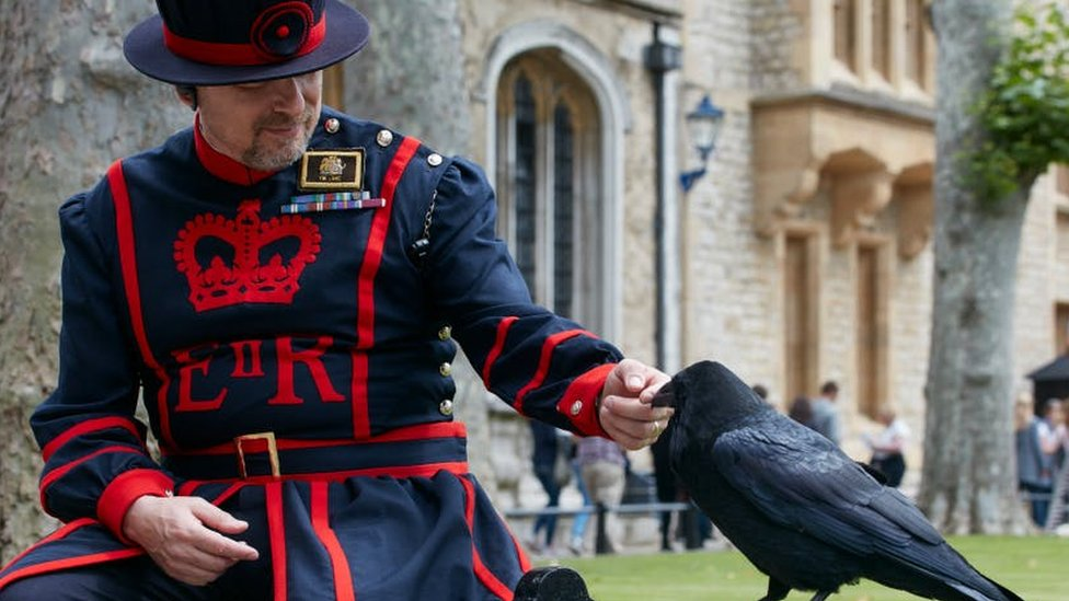 Tower of London to build raven breeding aviary