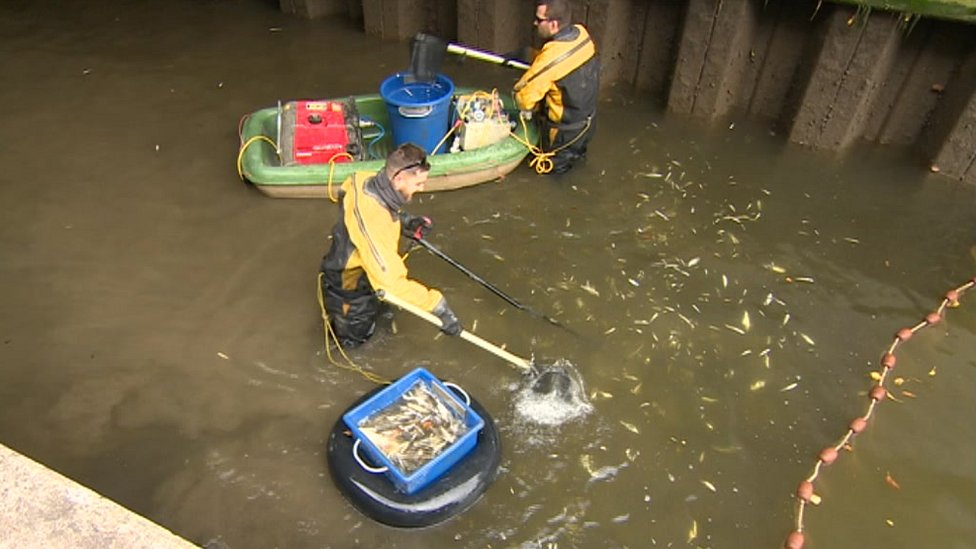 Fish removed from canal for Bath Deep Lock gate repairs