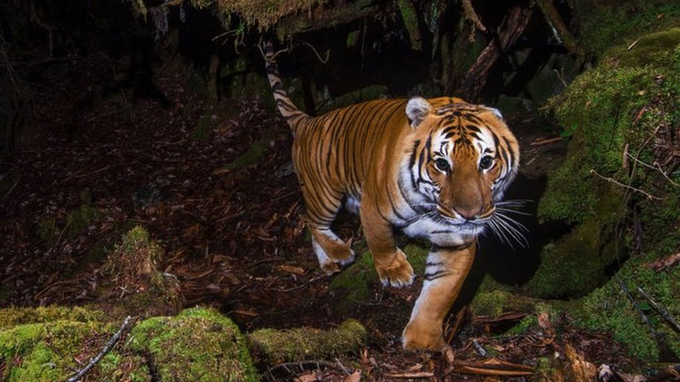 Endangered Tigers Making A Remarkable Comeback Bbc News