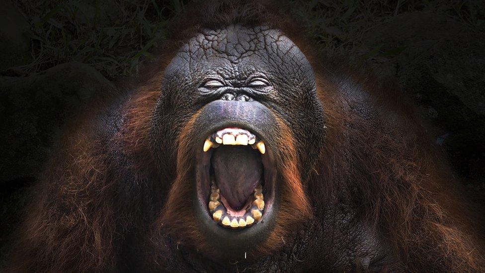 Orangután con la boca abierta.
