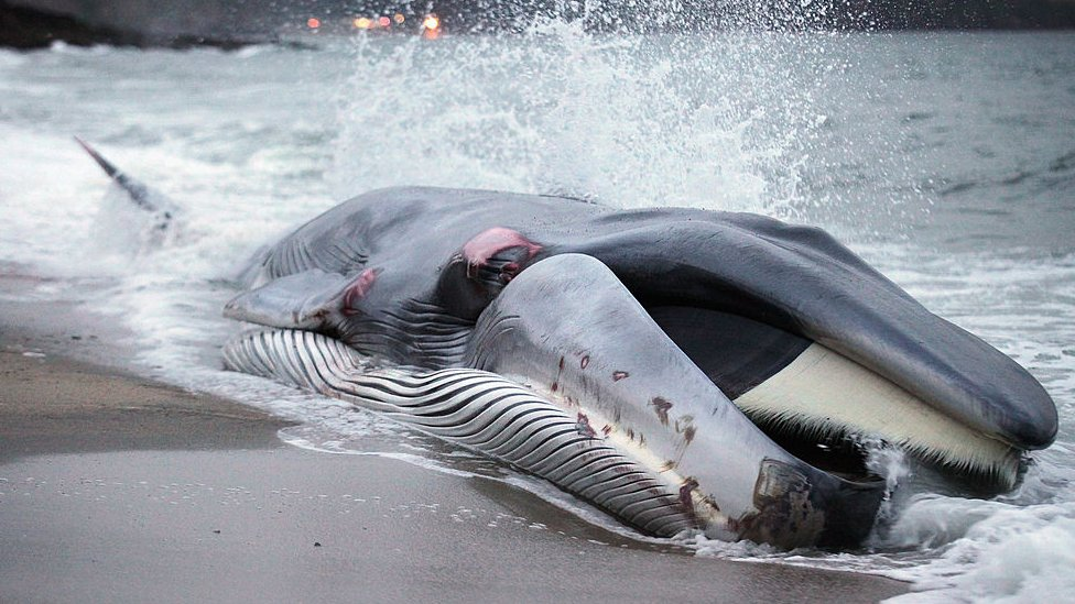 A rescue attempt fails to save beached whale in Cornwall