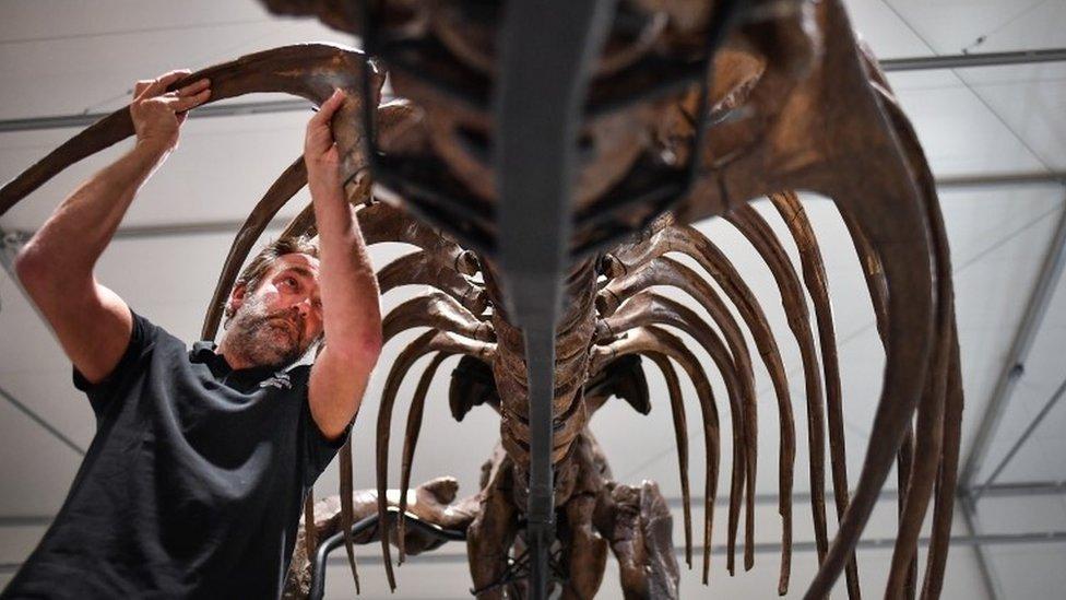 T. rex being assembled