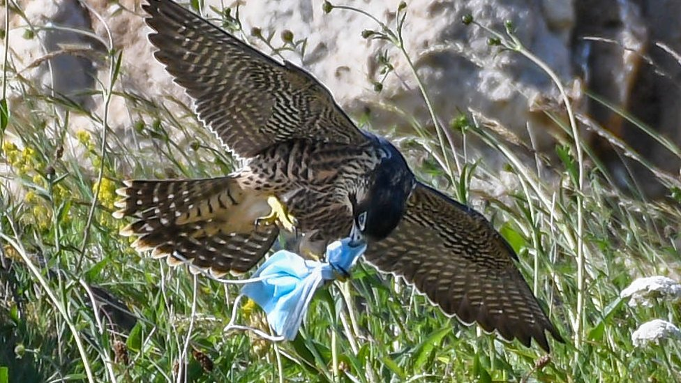 Peregrine falcon with mask caught in talons