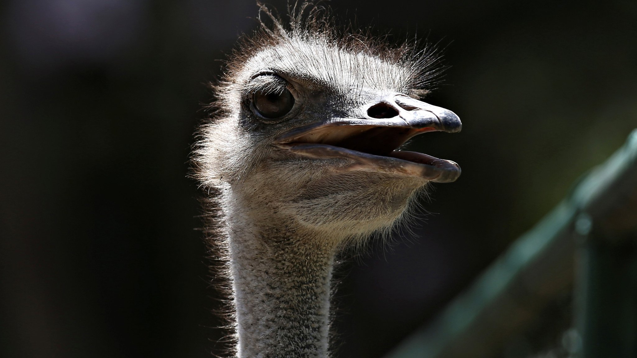Cuba's government mocked by stampede of ostrich memes