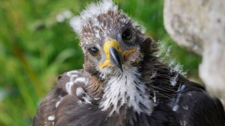 Golden eagle chicks released to boost south of Scotland population