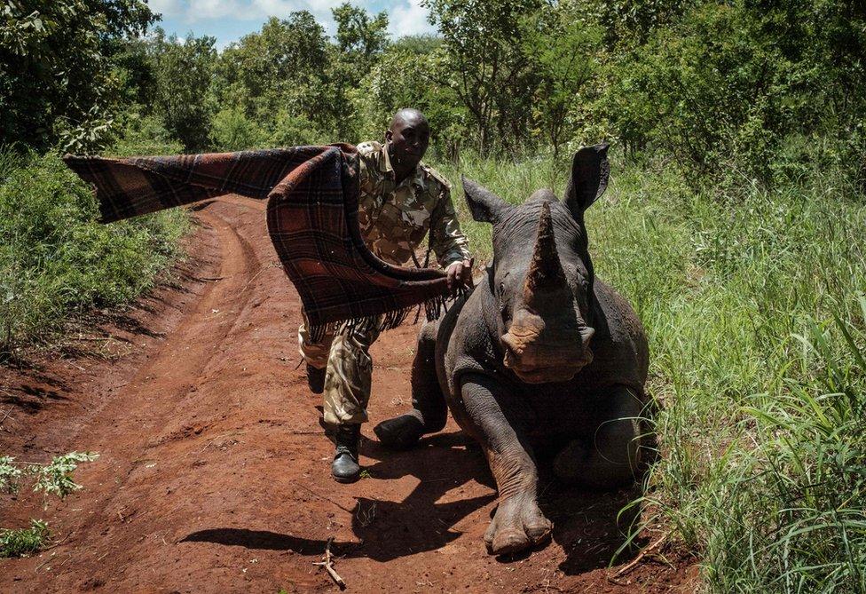 """حارس خاص بخدمة الحيوانات البرية في كينيا يجاول تغطية عيني وحيدة القرن """"إيليا"""" لتهدئتها. وكانت إيليا قد أصيبت برصاصة مهدئة من طائرة هليكوبتر أثناء تمرين في حديقة مورو الوطنية، التي تبعد نحو 350 كيلومترا من نيروبي."""