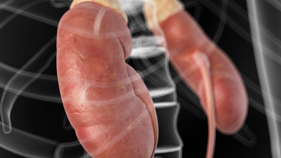 Ilustração de rins entre os ossos