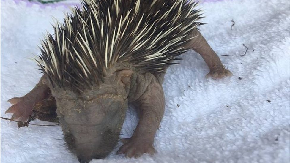 Baby hedgehogs 'crying for dead mother' in dog attack
