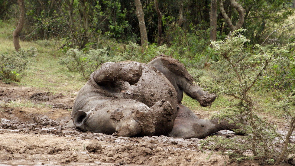 An adolescent southern white rhino rolls in mud at Ol Pejeta Conservancy in central Kenya