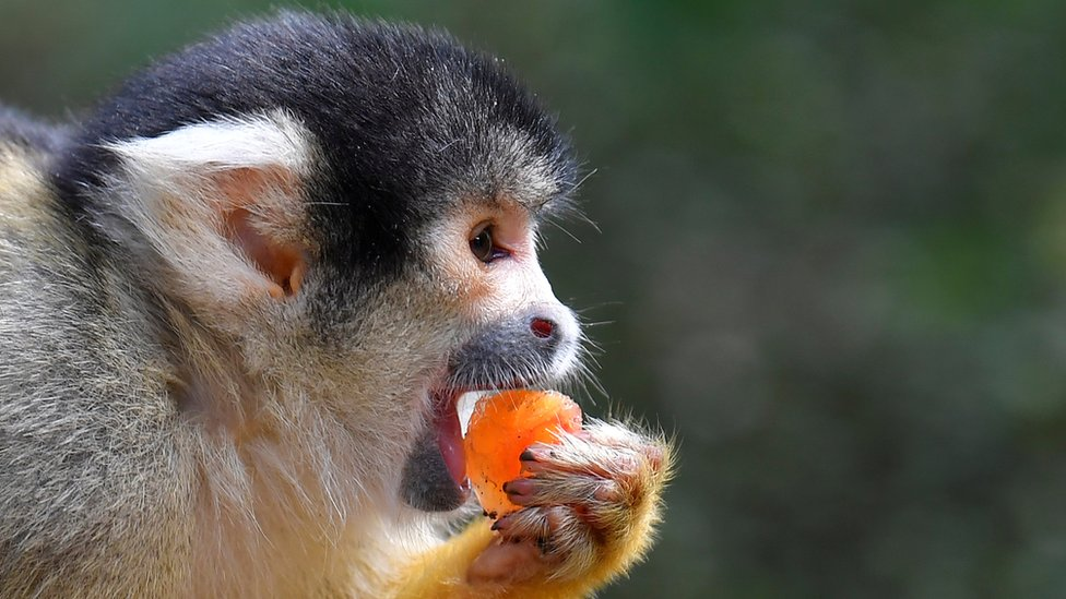 A black-capped squirrel monkey eats iced treats with nuts and berries
