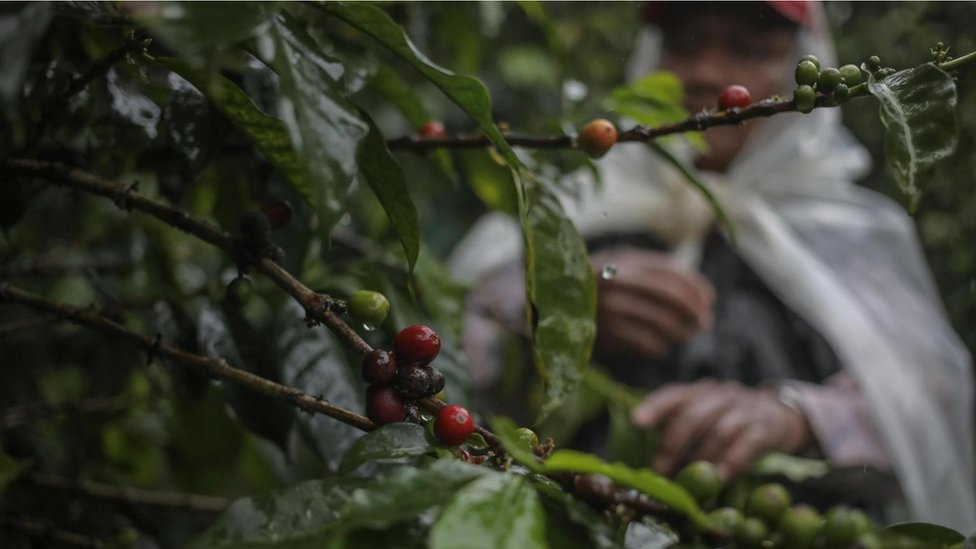Los granos de café del Elida Geisha son cultivados en la granja de la familia Lamastus en Panamá.