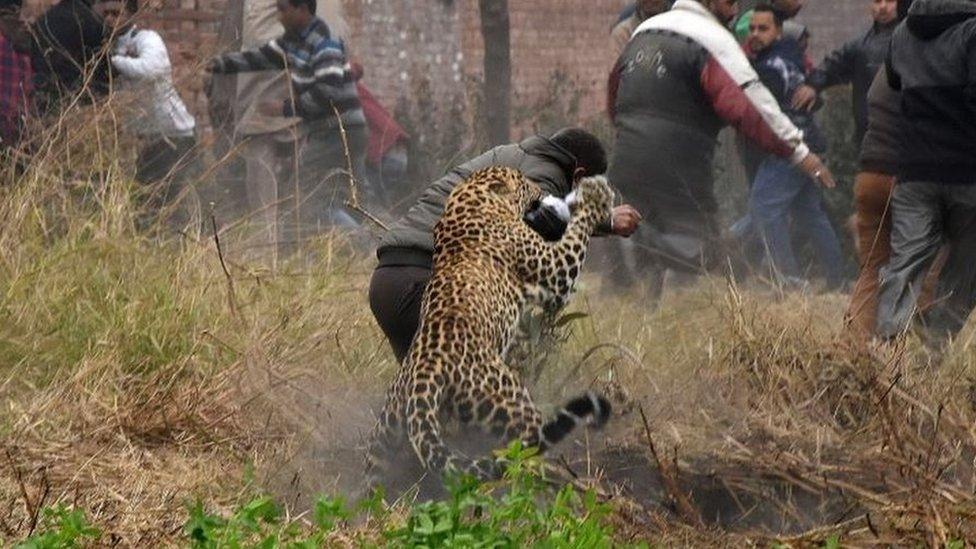 Macan tutul yang tersesat melukai enam orang sebelum ditangkap