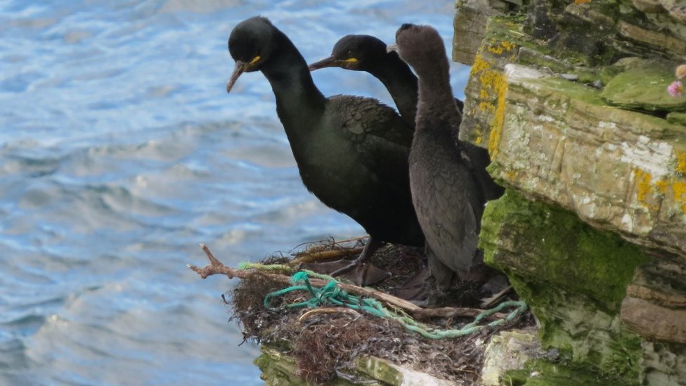 European shag with pollution in nest
