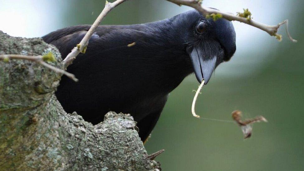 New Caledonian crow (c) James St Clair