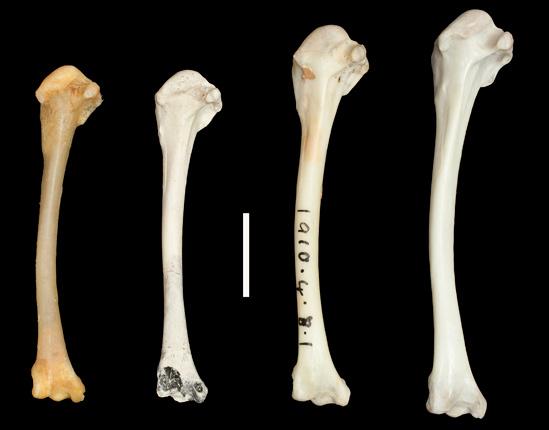 Huesos de diferentes especies de rálidos