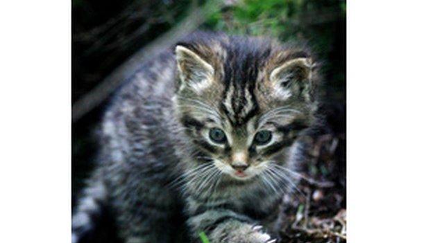 Cat-fiadhaich