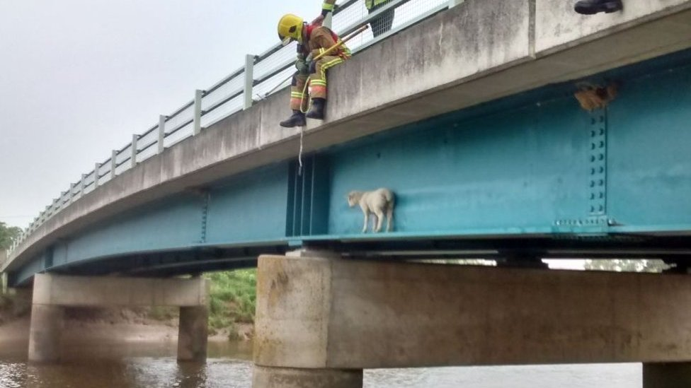 Sheep gets stuck on Norfolk river bridge... again