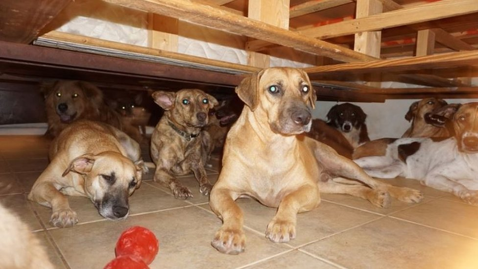 Dogs taking shelter under a bed.