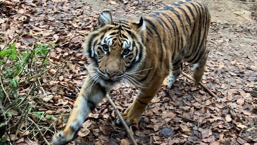 Padme walking in enclosure