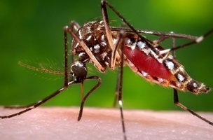 Female Aedes aegypti mosquito in the process of acquiring a blood meal from a human host.