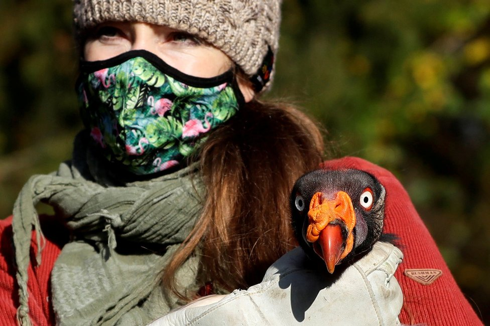 A zoo keeper wears a face mask and carries a large bird