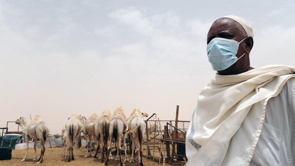 Un hombre saudita con una máscara quirúrgica mientras trabaja con camellos.