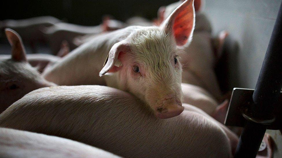 Cerdos en un mercado en Alemanis.