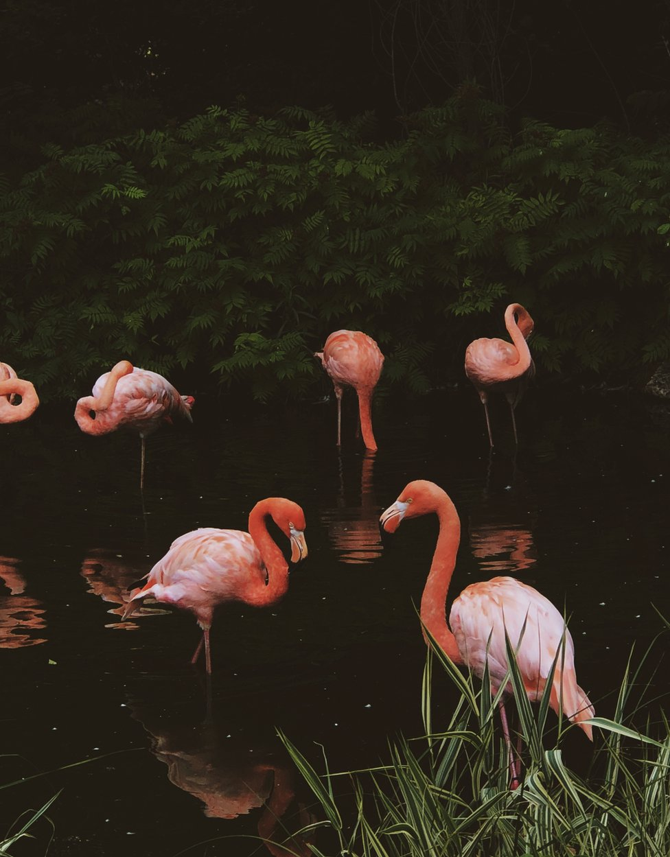 A group of flamingos in the water