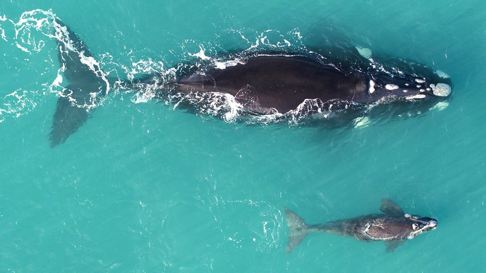 A mother southern right whale