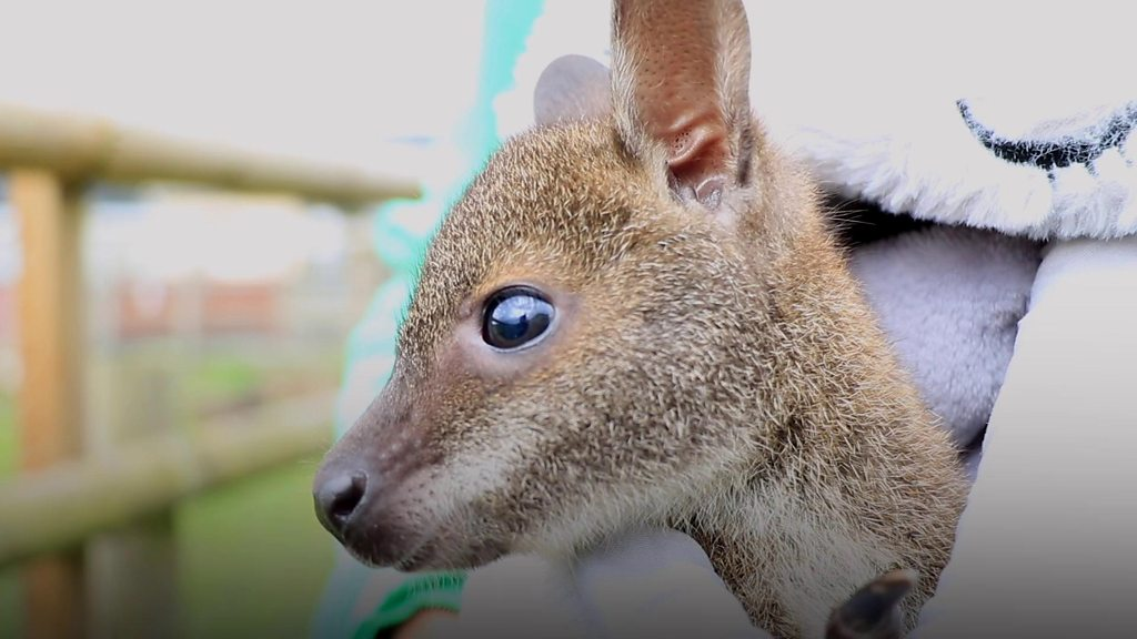 Orphaned baby wallaby hand-reared in rucksack