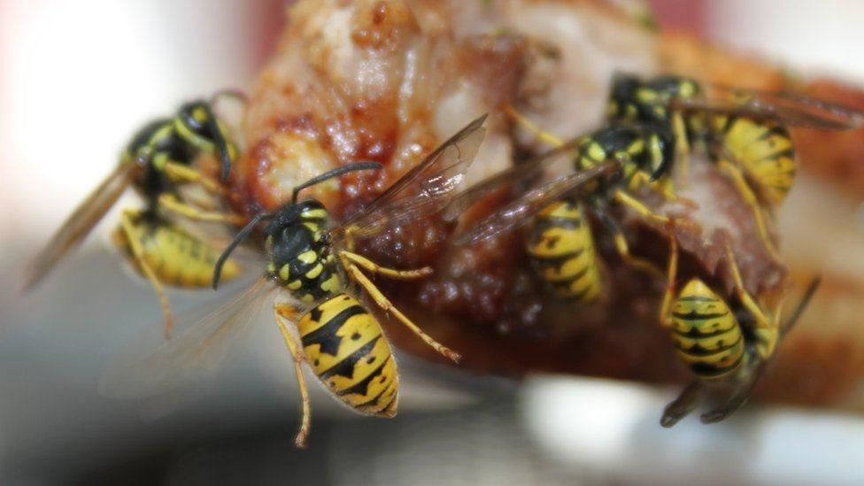 Вчені: оси - не гірші за бджіл, просто мають поганий PR