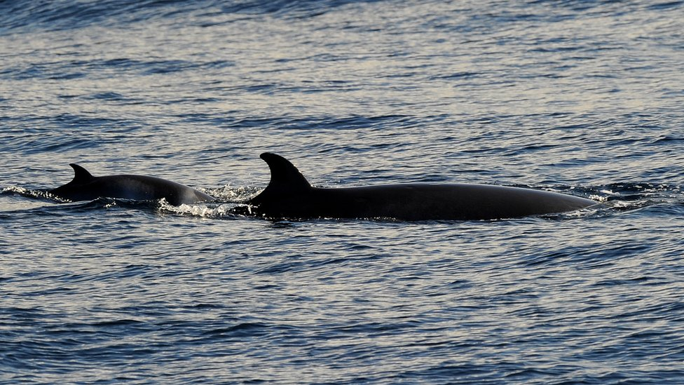 A minke whale (R) and calf rise to the surface off the coast near Sydney, Australia on 8 June 2010