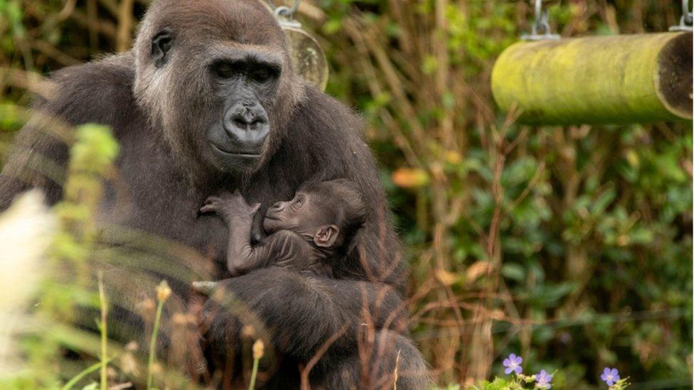 Baby gorilla Bristol Zoo