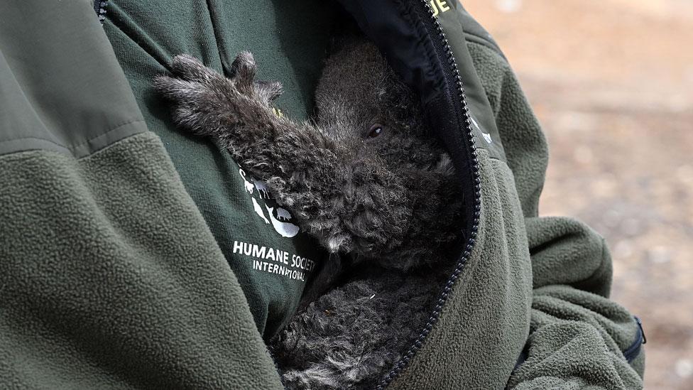 Rescued koala in arms of keeper